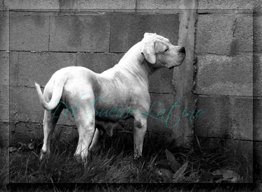 Del Sueno Latino Elevage De Dogues Argentins En Loire Atlantique Caractere Et Education